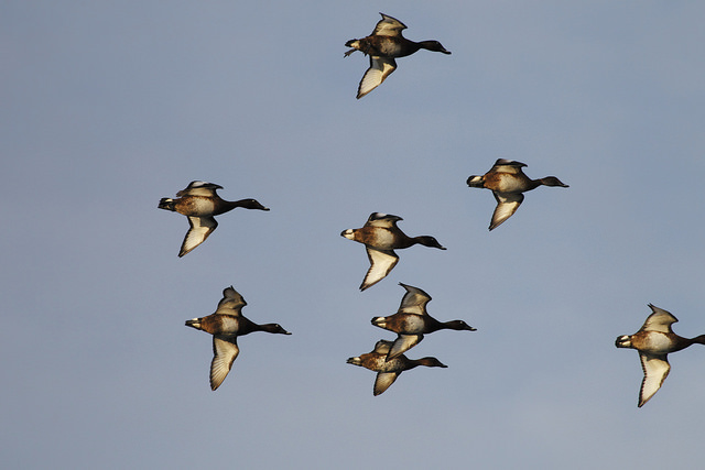 Wetland grants provide high quality habitat for waterfowl in Kansas