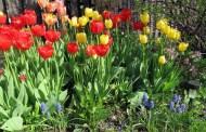 Care for Spring-Flowering Bulbs