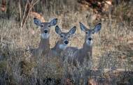 Leftover Nonresident White-tailed Deer Permits Available July 1