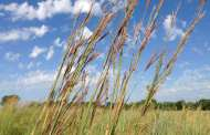 "Cottonwood Falls: ""King of the Prairie"" Tallest Bluestem contest on Nov 23"