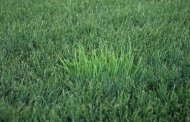 Orchardgrass in Tall Fescue Lawns