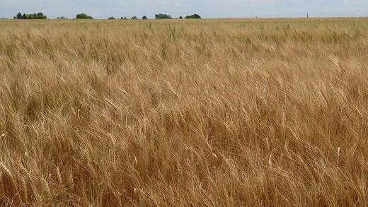 Controlling Summer Volunteer Wheat