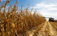 Drought Stressed Corn Leads to Nitrate Toxicity