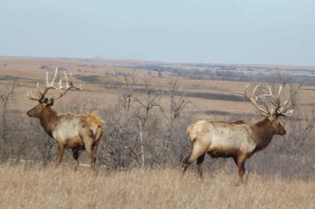 From Quail to Elk; Kansas Never Disappoints