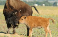 Baby Bison and Magnificent Moms