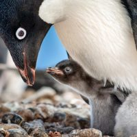 Disneynature Penguins Educator's Guide and Activity Sheets