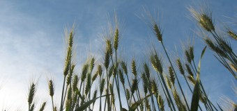 Barley producers big winners in South Korea Free Trade Agreement