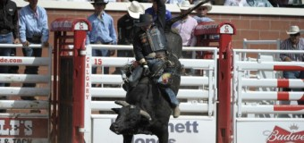 Bucking Bulls and the Stampede: Fact vs. Fiction