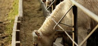 BCRC: 3 considerations to maintain good rumen health