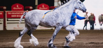 Family Affair: Stampede Heavy Horse Show's roots run deep