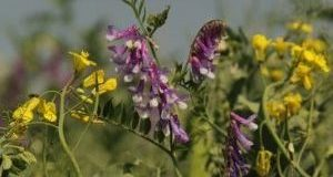 BCRC: Alfalfa is nothing to fear with simple, proper management