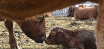 BCRC: Top findings about adoption of beneficial practices on Canadian cow-calf operations