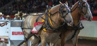 Lumsden, Saskatchewan's Sebastian puts on heavy horse pulling clinic at Calgary Stampede