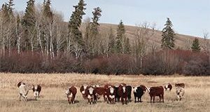 BCRC: Improve your profits by lowering open rates in first calf heifers