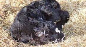BCRC: Top tips for a smooth calving season
