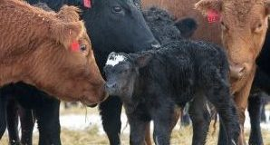 BCRC: More uniform calf crops: Shorter calving seasons can improve the bottom line