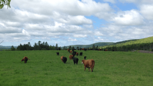 Cattle grazing in Canada's forested rangelands | Beef Cattle Research Council
