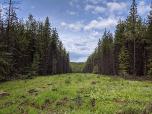 Forest grazing in Canada using strip thinning within a silvopasture system | Beef Cattle Research Council