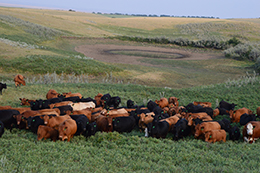 Canadian beef cattle during drought in pasture with dwindling water supply
