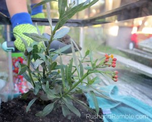 Fish Tank Milkweed | Milkweed, Monarchs and Masterpieces: The Tale of a Preschooler and His Butterfly Garden