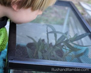 Fish Tank Caterpillars | Milkweed, Monarchs and Masterpieces: The Tale of a Preschooler and His Butterfly Garden