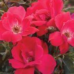 Roses and Wave Petunias-https://www.russellfeedandsupply.com