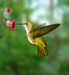 attracting-hummingbirds
