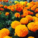 Russell Feed Decatur_Marigolds