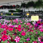 Russell Feed_Decatur_Petunias and Hanging Plants