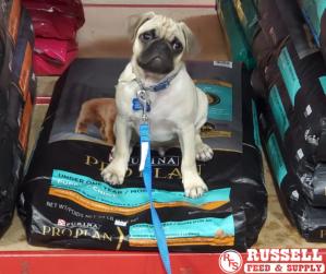 Cute Pug Dog sits on top a bag of dog food