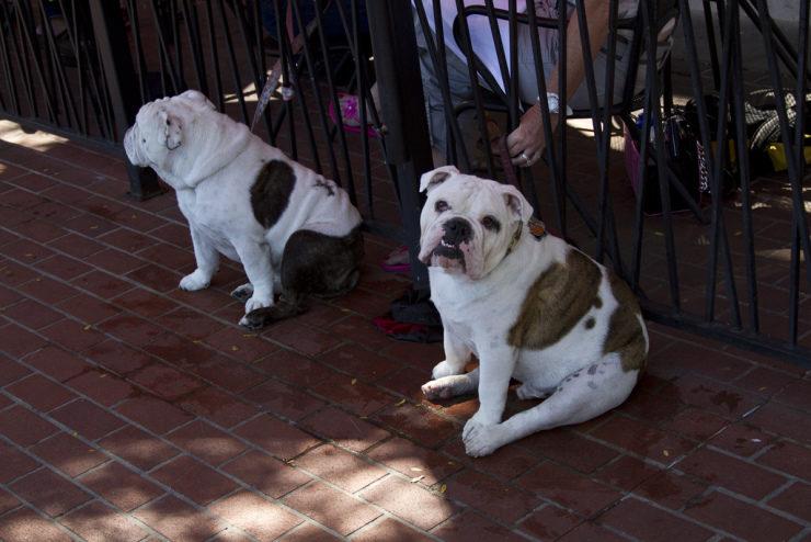 Chunky bulldog