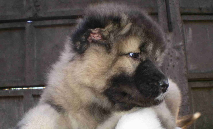 Caucasian Mountain dog ears