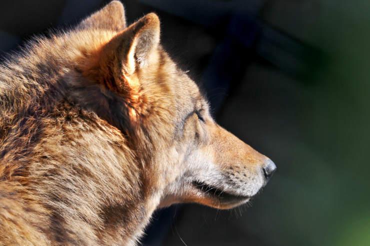 wolf-portrait