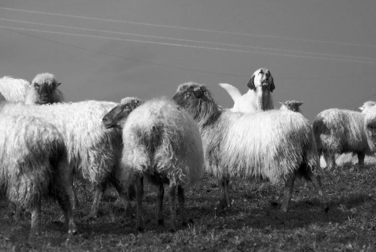flock guardian dog photo