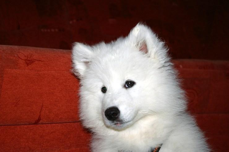 Samoyed puppy photo