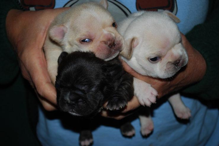 French Bulldog puppies photo