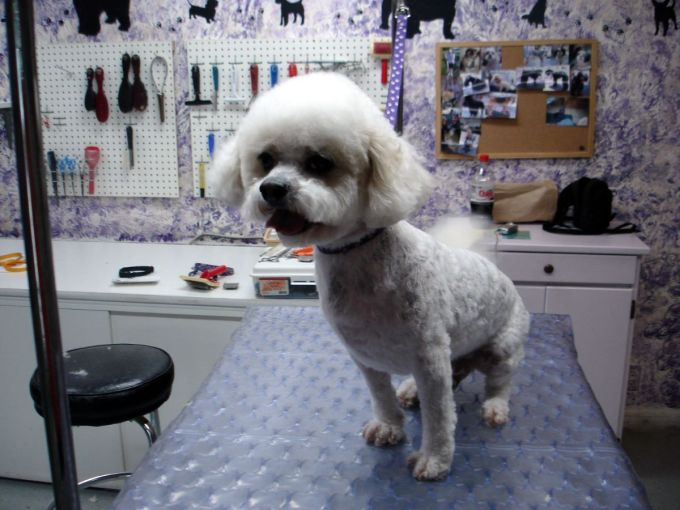 how long will it take my shaved bichon's coat to grow back?