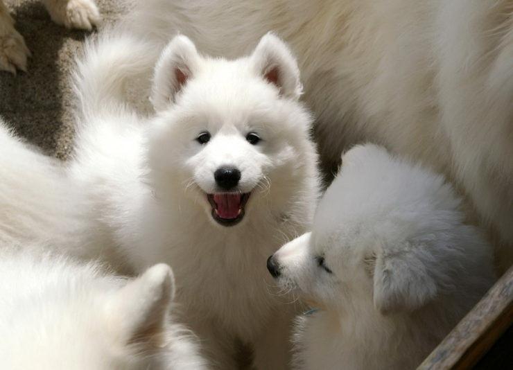 siberian samoyed puppies