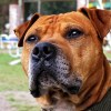 What are the best pitbull bloodlines?