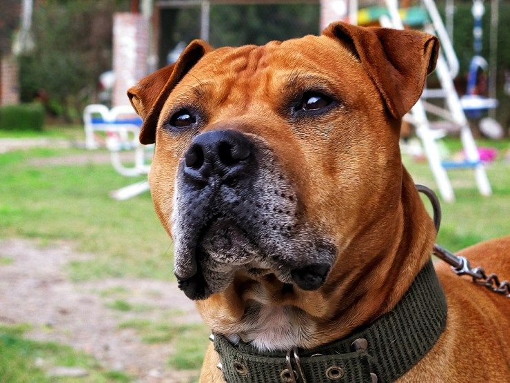 American Pit Bull Terrier photo