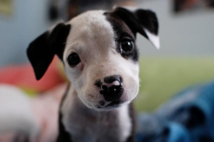 purebred pitbull puppy photo
