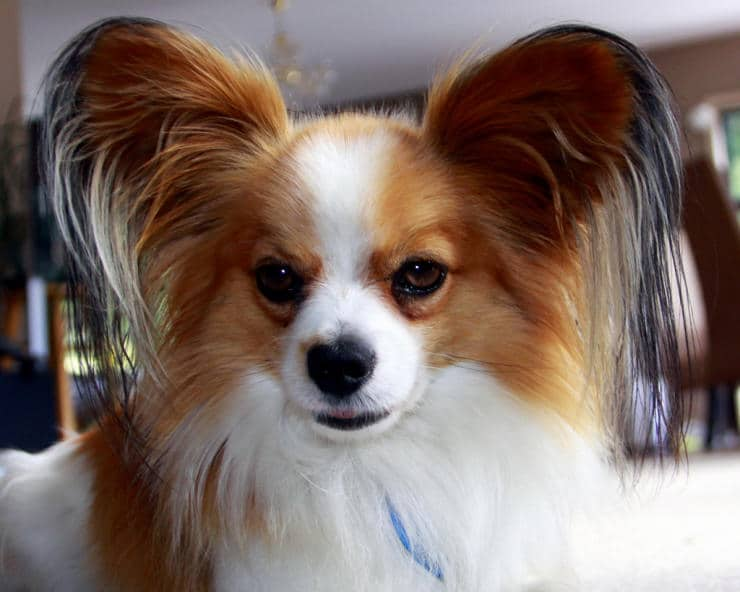 Types Of Small Dogs That Don T Need Grooming