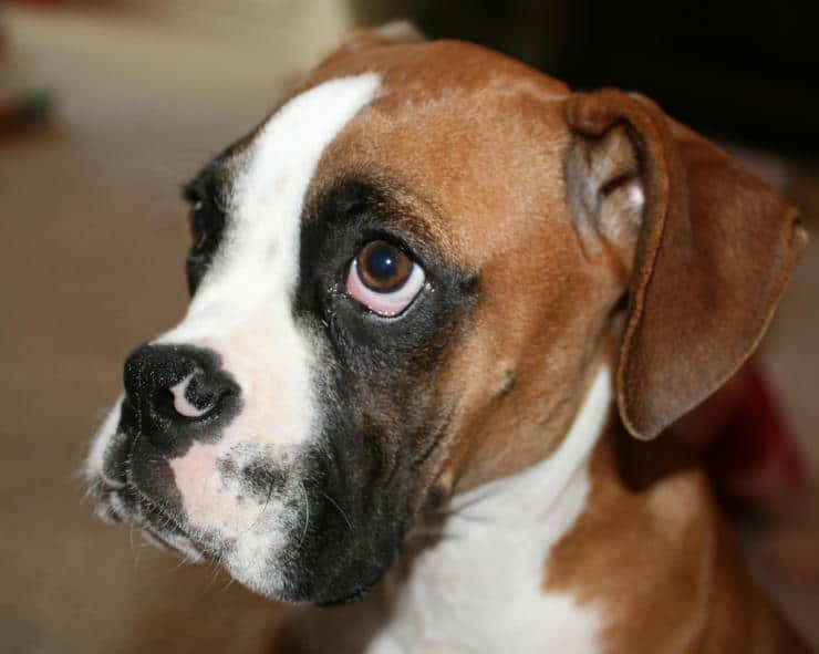 boxer male puppy
