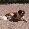 How do I shave my Saint Bernard dog in hot weather?