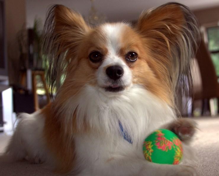breeding papillon dog photo