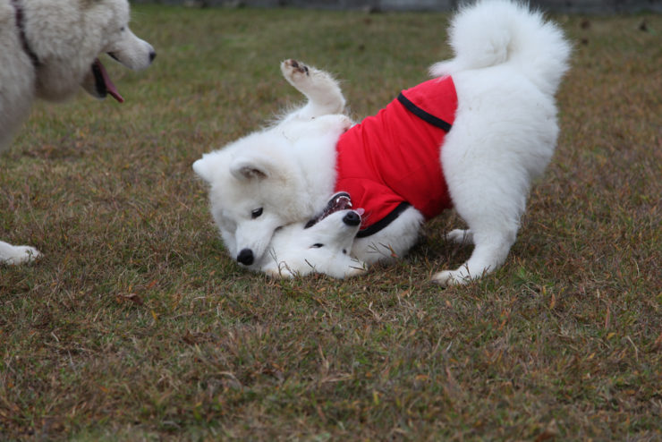 where do you get clothes for samoyed and other big dogs