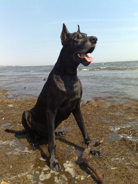 great dane waiting for command