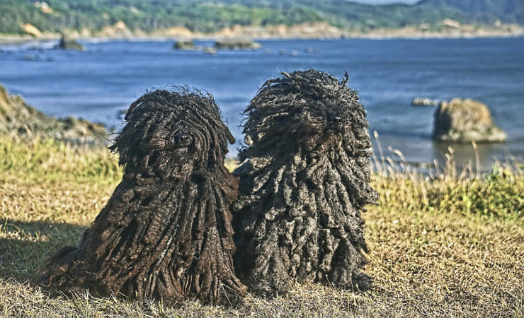 Puli Dogs couple