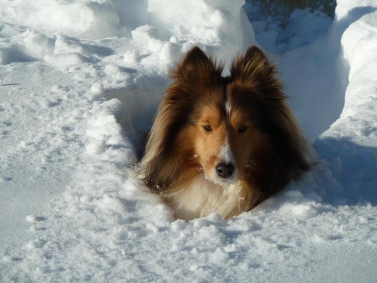 Shetland Sheepdog winter
