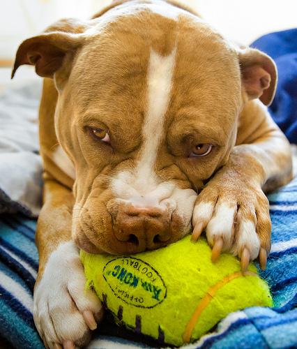 pitbull dog toy